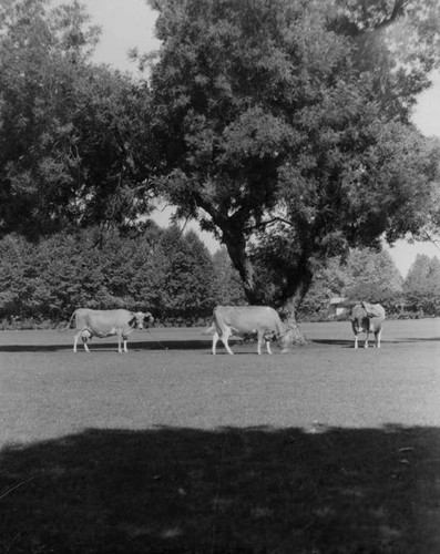 Grazing cows at Adohr Farms, circa 1935-1937