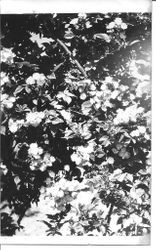 Rose bush, about 1931