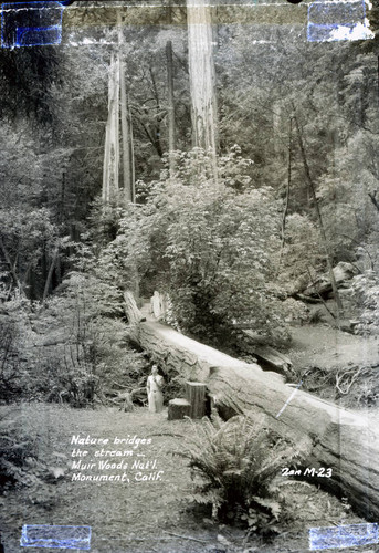 Foot bridge made from a redwood tree in Muir Woods, circa 1935 [postcard negative]