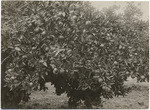Oranges, Cone Ranch near Red Bluff, Tehama Co., Cal., 10894