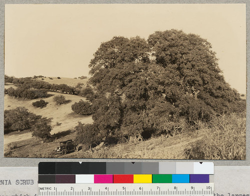 California Scrub Oak, Quercus dumosa. This tree which is usually small and scrubby in form is probably the largest specimen in existence according to A. E. Wieslander who took the photo in 1934. Circumference is 4 1/2 ft. - 13.45 ft. Diameter at breast height 51.4 in. Height 33 ft. Crown diameter - 55 ft. It is located in the Temblor Range of San Luis Obispo County, California, east of Simmler and near the Kern County line. Measurements were made by A. E. Wieslander in 1934