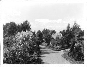 Pampas grass in the garden of East Lake Park (later Lincoln Park), Los Angeles