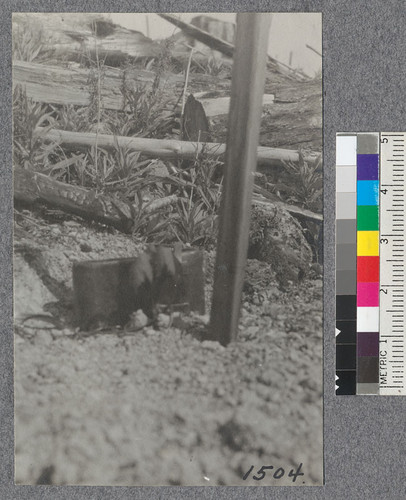 "About average size and condition of Sugar Maples (Acer saccharum). April, 1921. These were 1 year old and about 3""-4"" high when planted. Tree is slightly out of focus just in front of camera case"
