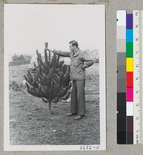 Dowdakin and one of the small well-formed Christmas trees of Monterey Pine. Metcalf. Dec. 1952