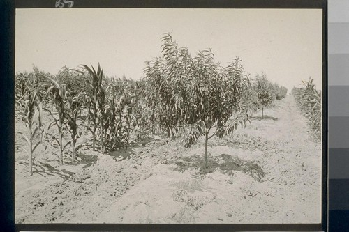 No. 124. Phillips cling peaches 2 yrs. old, corn between rows. Allotment E. E. Wayman, Delhi, July 24, 1922