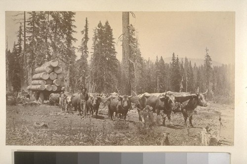 [Oxen team pulling lumber cart. Unidentified location.]
