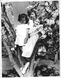 Sebastopol Apple Blossom Princess Meridith Shelton and two unidentified princesses, about 1951