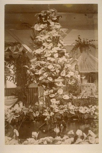 [Flower arrangement for exhibition? With Cala lilies.]