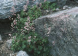 San Bernardino Mountain alumroot
