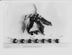Identification of Luther Burbank cherry hybrid from the Gold Ridge Experiment Farm--seven cherries (Best of 1908 (H-2,3,4,5,7 and 9)) with two clusters and leaves above them and ruler below
