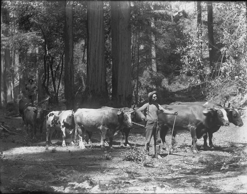 Man leading lumber bull team, Bohemian Grove. [negative]
