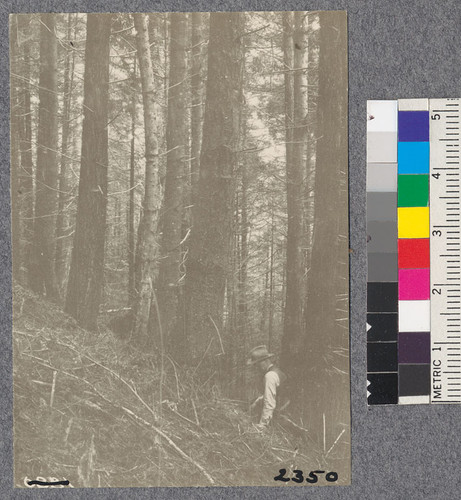 Secondgrowth Redwood Yield Study. Freshwater - plot #15. A mixed stand of redwood and fir 43 years old - 74 thousand board feet per acre. Oct. 1922
