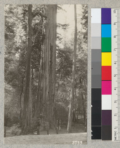 "The ""Mother Tree"" (Sequoia sempervirens) in California State Redwood Park, Santa Cruz County. Silviculture Trip"