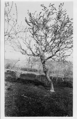 "Plum tree 00-7 ""Purple Leaf"" at Burbank Experiment Gold Ridge Farm, March 19, 1929"