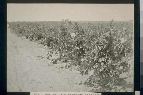 No. 130. Two yr. old Thompson seedless grapes--allot. J. P. Wymer