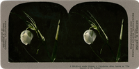 "A single blossom of Calochorius albus, known as ""The Lantern of the Fairies,"" J 584.32"