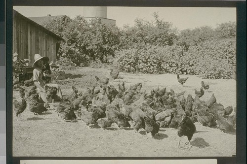 No. 228. Rhode Island Reds owned by Mrs. Harbin, allot 109, August 14, 1923