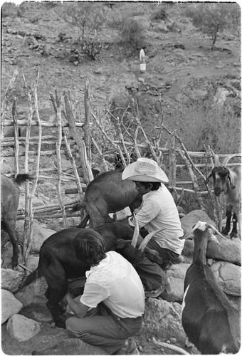 Milking goats at Rancho El Zorrillo