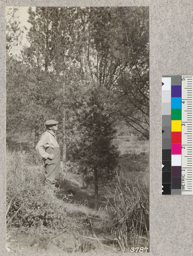 F.M. Fultz, author and teacher of forestry in Los Angeles schools, and twenty-year old incense cedar in Hennegar Flat plantations, Los Angeles County. Tree is vigorous but shows characteristically slow growth in youth