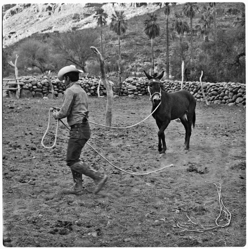 Mule breaking at Rancho San Nicolás