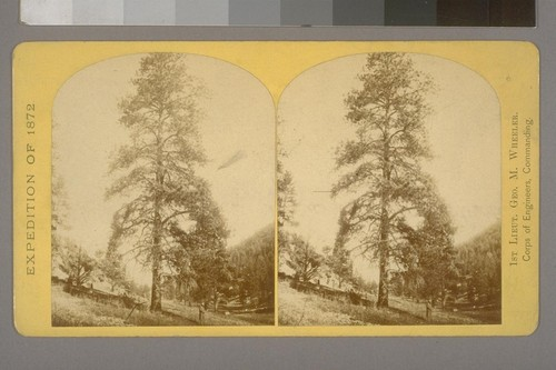 Yellow Pine (Pinus ponderosa, Doug.,) the timber-tree of the high plateaus in Utah, Arizona, and New Mexico.--Photographer: Wm. Bell--Photographer's number: 26--Photographer's series: Expedition of 1872