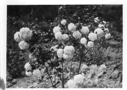 Snowball bush, Burbank Experiment Farm--possibly taken for or by Stark Brothers Nurseries