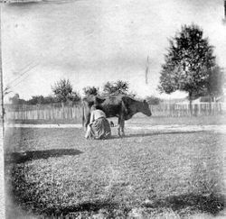 Ludencia (Sebring) Peterson milking a cow on her Santa Rosa farm, about 1908