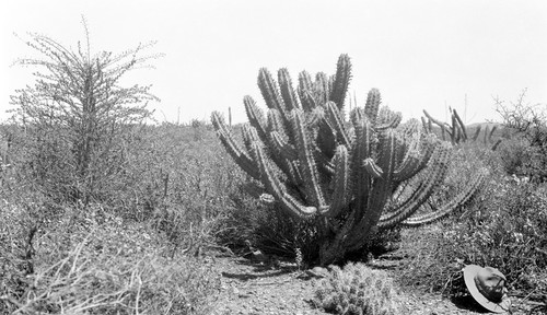 Another rather common cactus, 18.5 miles from San Fernando, elevation 2110 ft