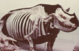 Giant rhinoceros skeleton