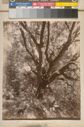 Live Oak--Hobe Ide's ditch. Sheep Ranch (Calaveras Co.). [No.] 17