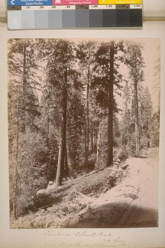 Timber on Colwell Creek. W.H. Clary. Near Sheep Ranch (Calaveras Co.). [No.] 8