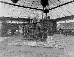 about 1930s Gravenstein Apple Show display by the Sebastopol Chamber of Commerce of Humpty Dumpty on a wall made of apples