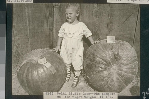 "No. 165. Delhi Little Ones--The pumpkin on the right weighs 111 lbs. The other, a ""Crown"", weighs 92 lbs"