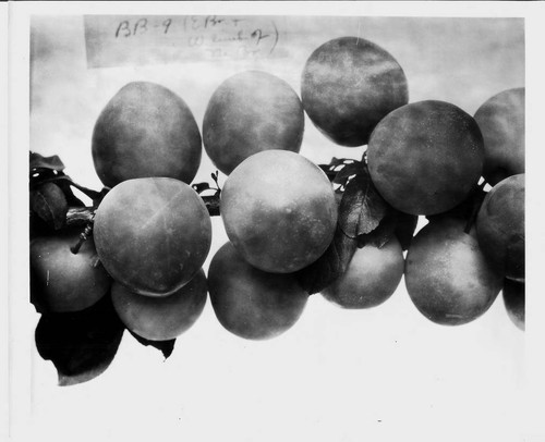 "Plums on a branch--""Plum BB-9 (E branch and W. limb of No. br. Photographed July 1929."""