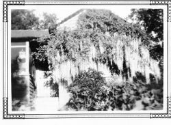 J. B. Peterson house with wisteria in Barnett Valley, southeast of Occidental, California, May 1928