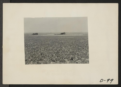 Eden, Idaho--A view of a farm a few miles south of the Minidoka War Relocation Authority center. Beans are growing in the foreground. Photographer: Stewart, Francis Hunt, Idaho