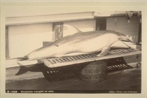 Porpoise caught at sea.--B1320