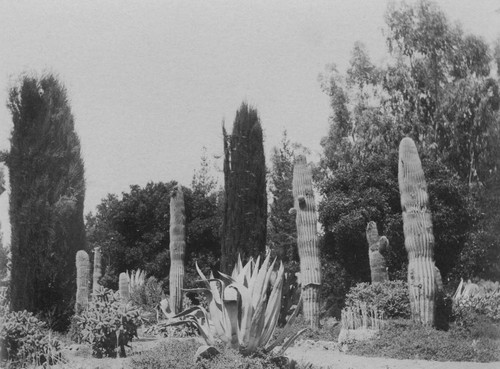 1897 Stanford University Cactus Garden