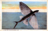 Flying Fish, Catalina Island, Calif. 2