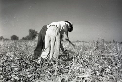 Two Mexican workers with back towards camera hoeing in a sugar beet field