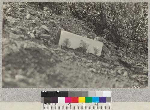 Three Coulter Pine seedlings in seed spot sown in February, 1926, on burn above Grizzly Flat, Los Angeles County. About 50% of spots show thrifty seedlings. October, 1926. Metcalf