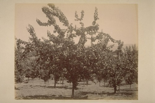 Apricot Tree, in Caleb Carriger Orchard
