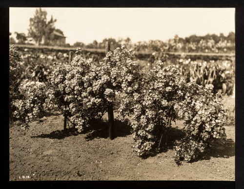 Roses, three bushes of single blossom roses in Luther Burbank's Gold Ridge Experiment Farm, Sebastopol