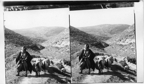 A shepherd in Davids Home country leading flocks over Judean hills. Palestine