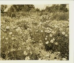 Field of Coreopsis lanceolata grand, May, 1928