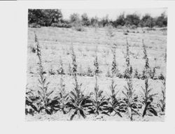 Luther Burbank's Gold Ridge Experiment Farm in Sebastopol with rows of foxglove plants in foreground