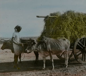 Harvested rice is transported to threshing floor on cart