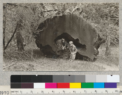 Burned out Sequoia log, Whitaker's Forest. A good place to hide. 50 years on the ground. July, 1926