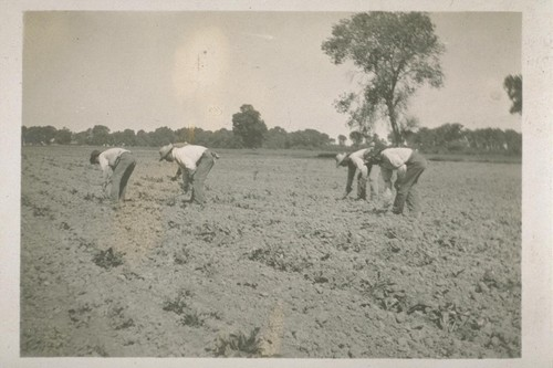[Japanese laborers cultivating a beet field.]