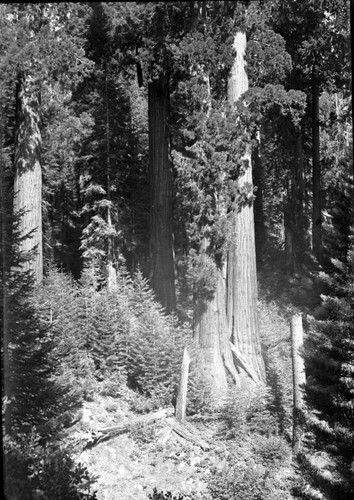 East Fork Kaweah River, Giant Sequoias, Oriole Lake Grove, near Camp Conifer